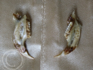 This set of earrings feature the lower mandible of an Eastern Grey Squirrel on gold plated studs. The Eastern Grey is a non-native invasive species in the Pacific Northwest that harms native squirrel populations and is an urban nuisance.